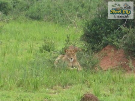 Lion(young) in Murchison Falls NP