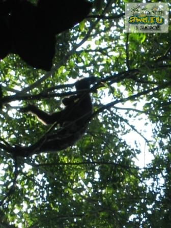 Chimp in Kibale forest NP
