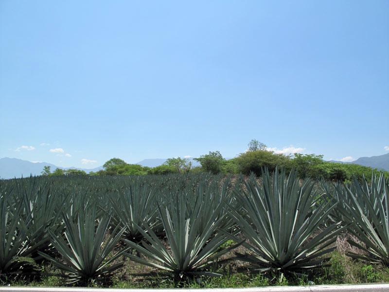 Оахака ::: Мескаль и Текила лучшие друзья мексиканца