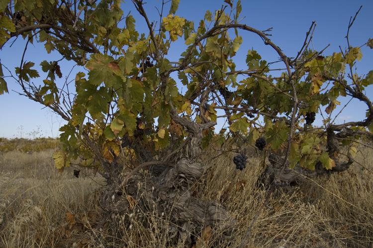 Фото картинки виноградной лозы