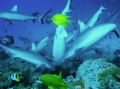 Shark Feeding (Gau Reef)
