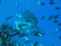Shark Feeding (Beqa Lagoon)