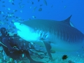 Tiger Shark (Beqa Lagoon)